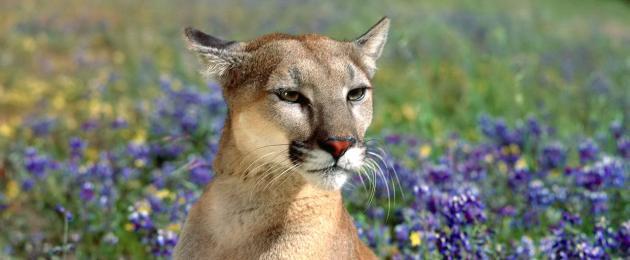 Upoznavanje lovaca na cougar